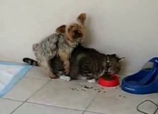Tiny puppy tries fucking a hungry cat